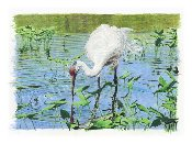 "Whooping Crane 11""x15.5"""