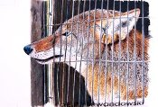 "Caged Coyote - 7""x9.5"""